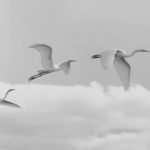Am working more on PP recently with this being latest effort. The three birds were cut out of original scene>had individual HDR effects and B&W conversion applied individually to birds as well as to the background> then everything reassembled in original order.I think it looks OK...what say you?